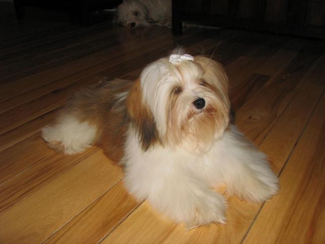 CKC Havanese puppies for sale, Ontario Canada GTA, Sedosos Havanese